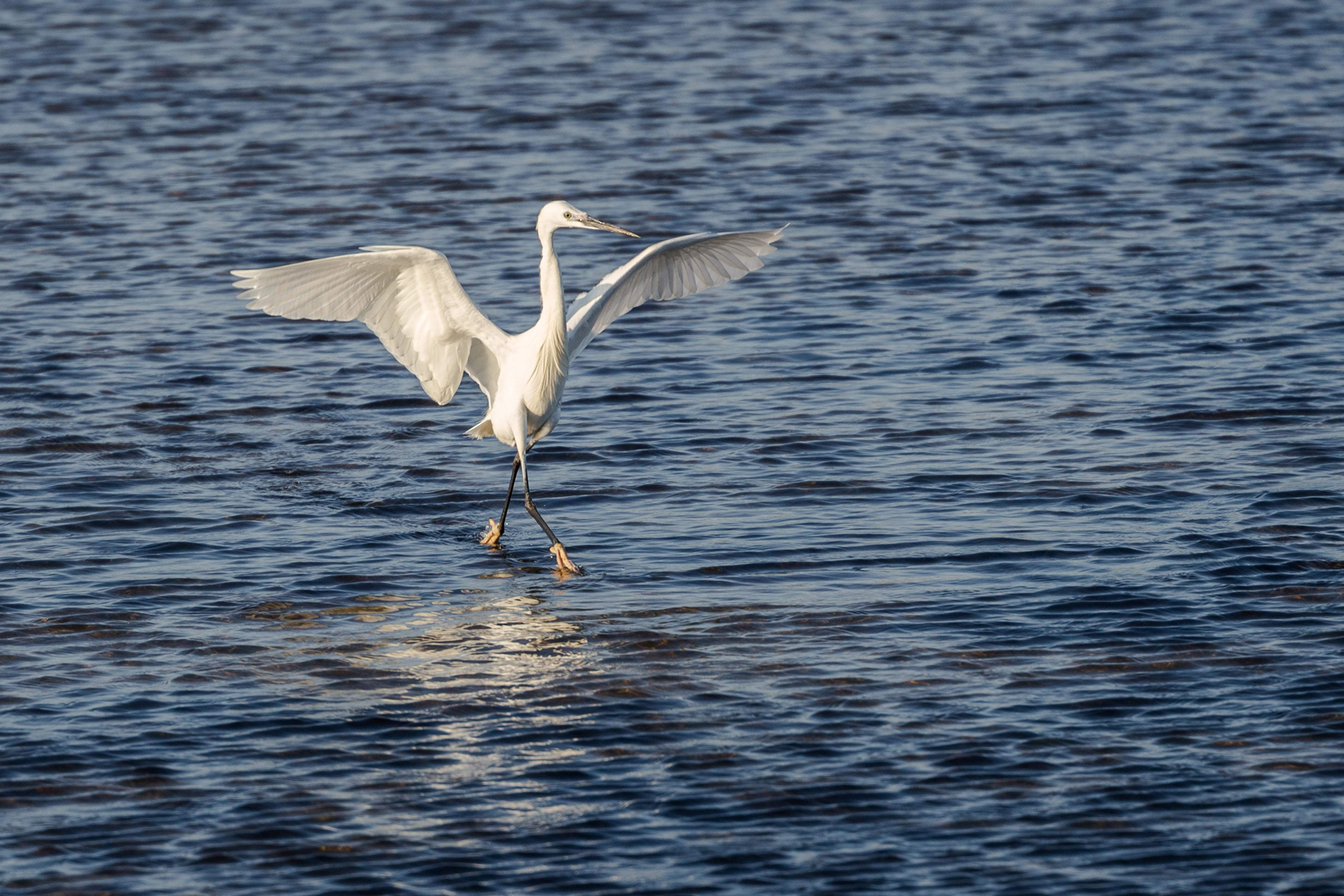 This bird can walk on water - Caters News Agency