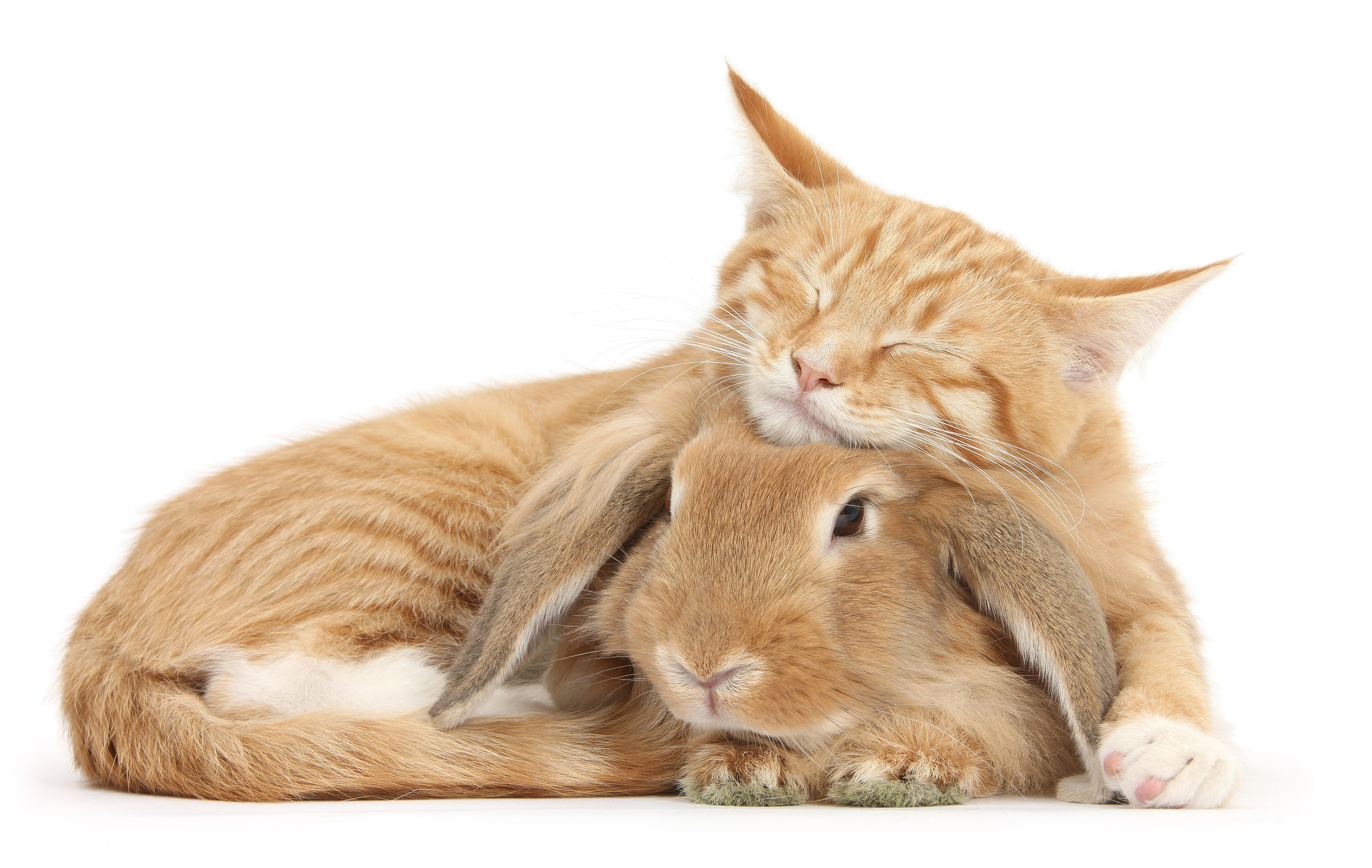Image result for cat and bunny