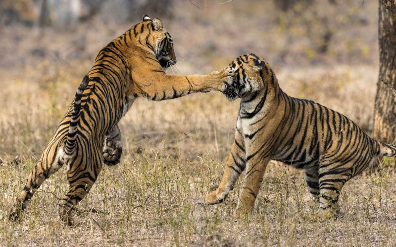 Image result for vicious tiger