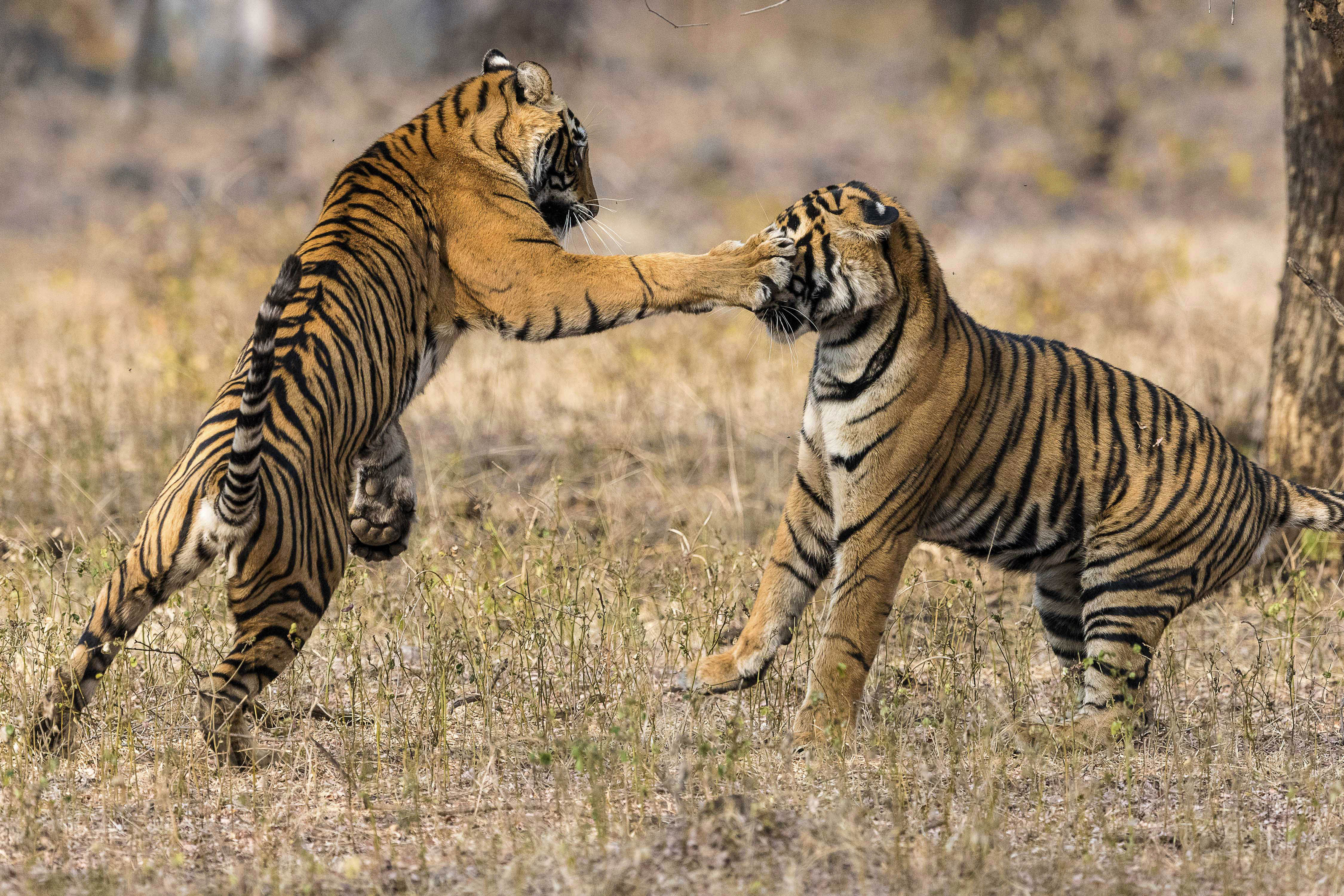 thrill of the fight – tigers in vicious brawl - caters news agency