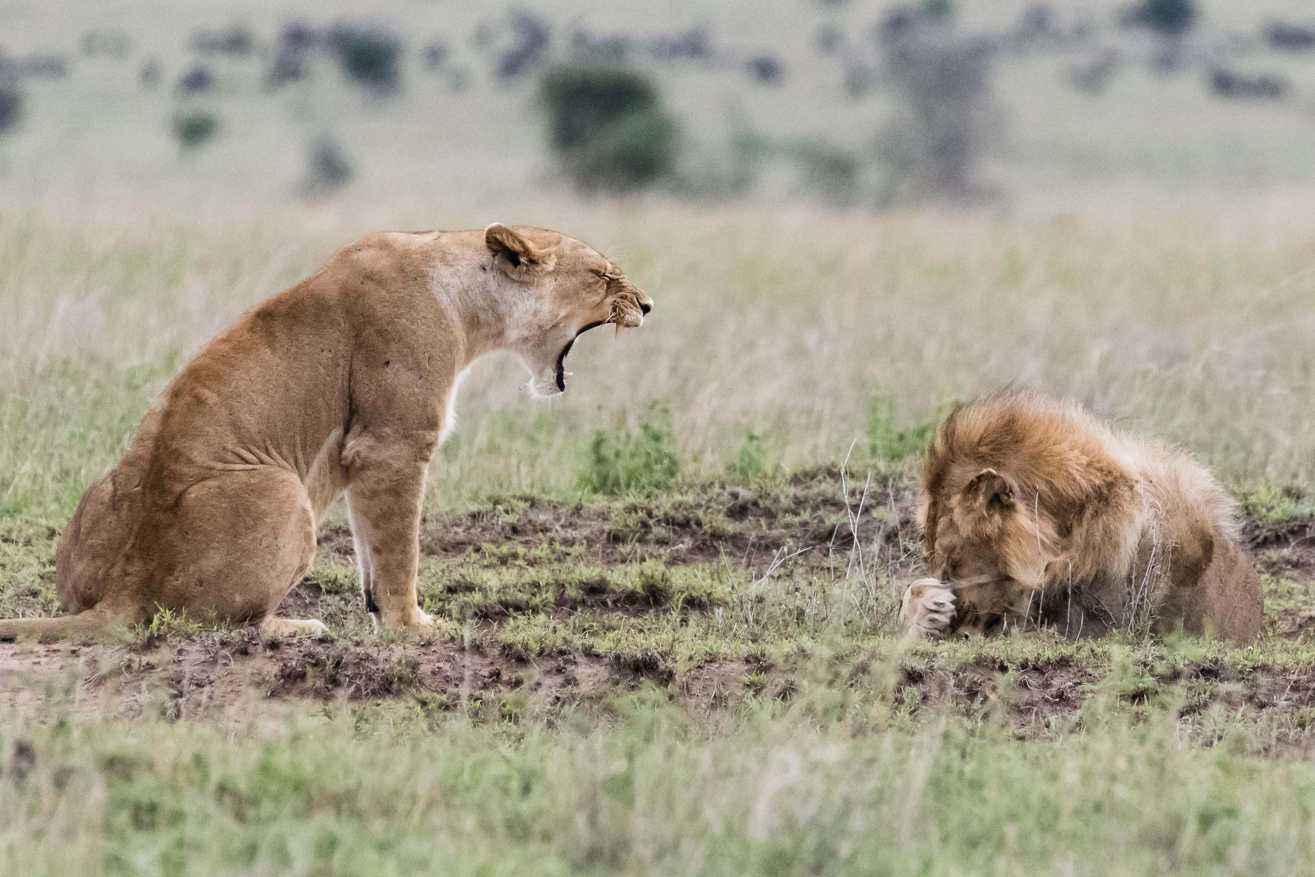 I'm roar-ly angry with you! Furious lioness gives male lion