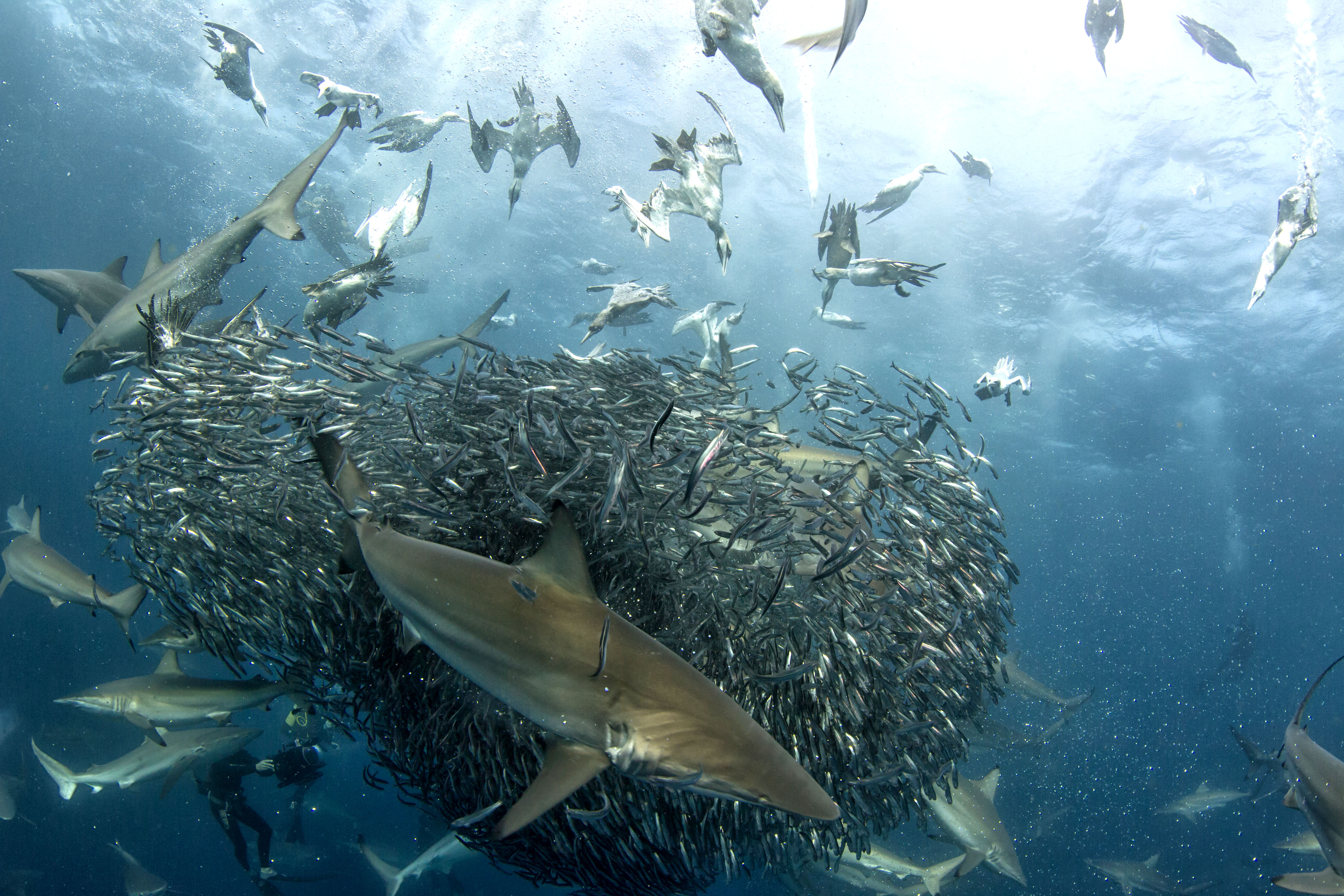 Taking The Bait Sharks And Gannets Battle For Sardines