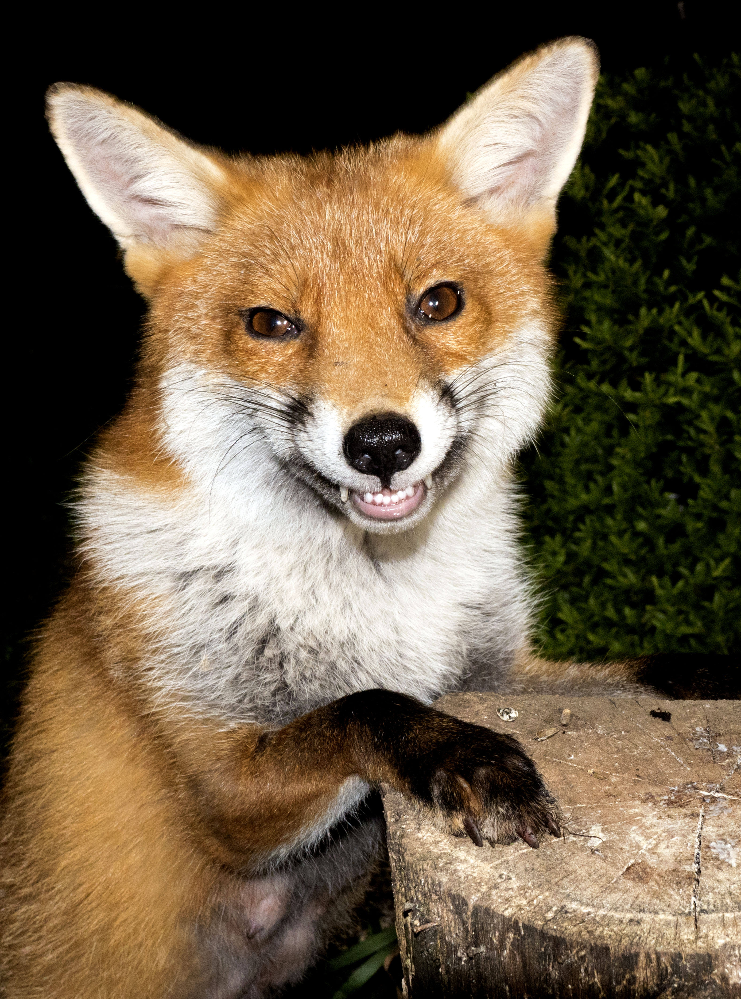 Smile You Re On Camera Grinning Fox Has No Regrets After