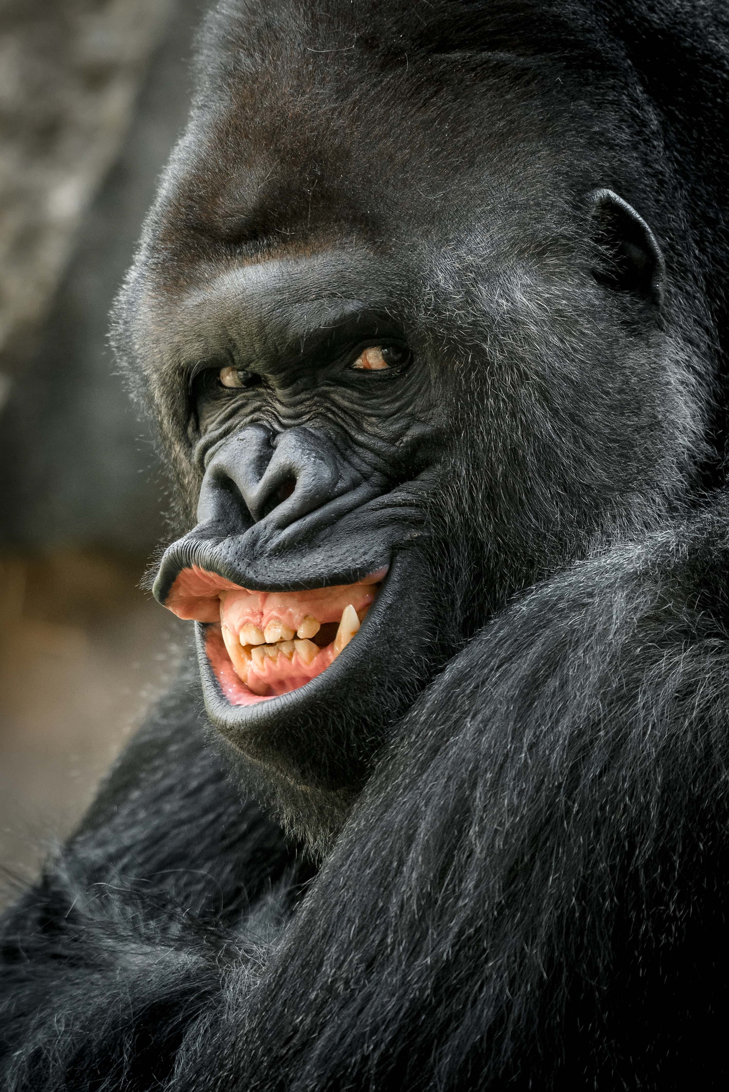 GRRR! 'Sexy' gorilla smoulders for the camera in latest ...