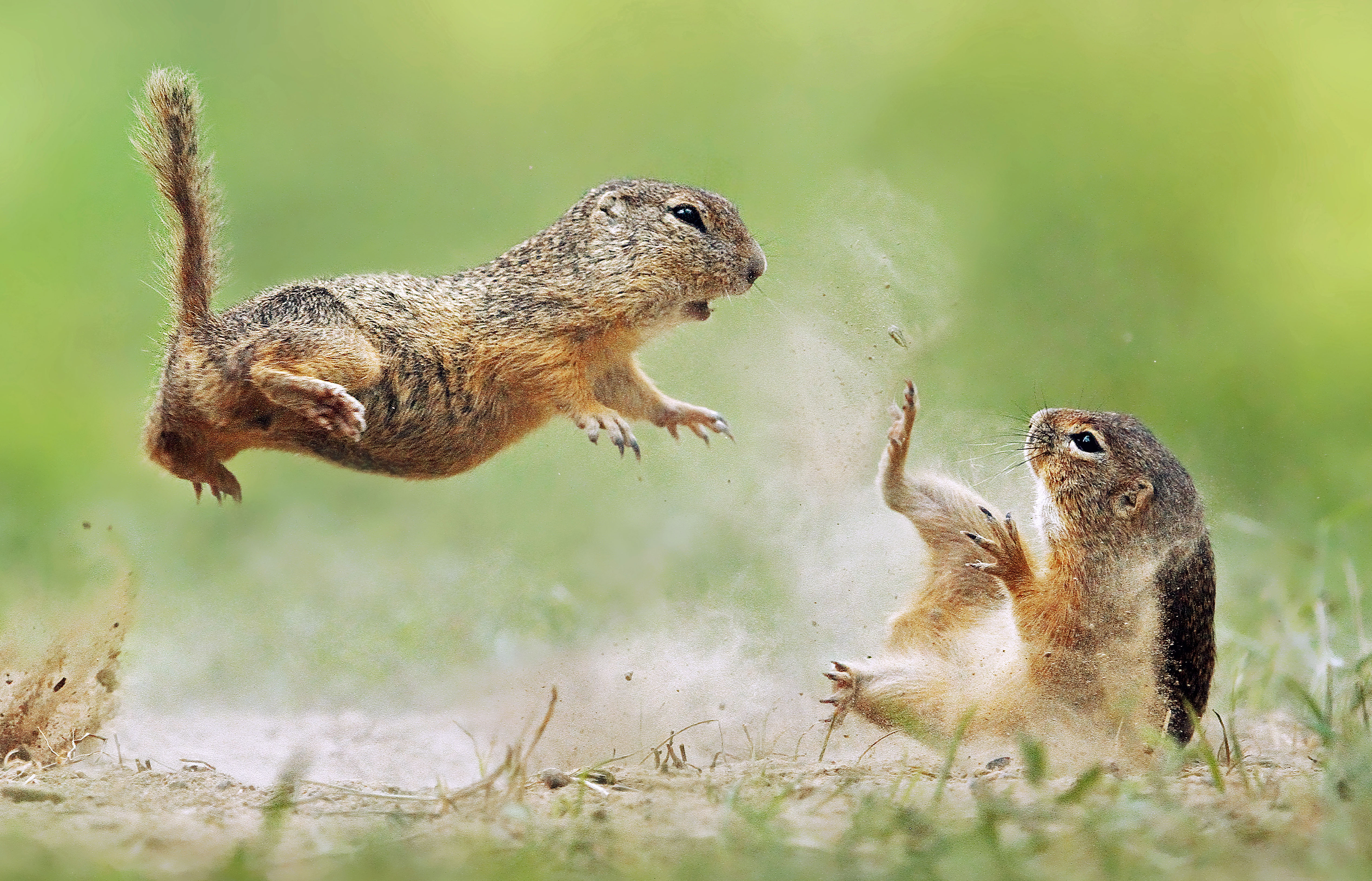 Squirrel wars! Dramatic images show red squirrel fight