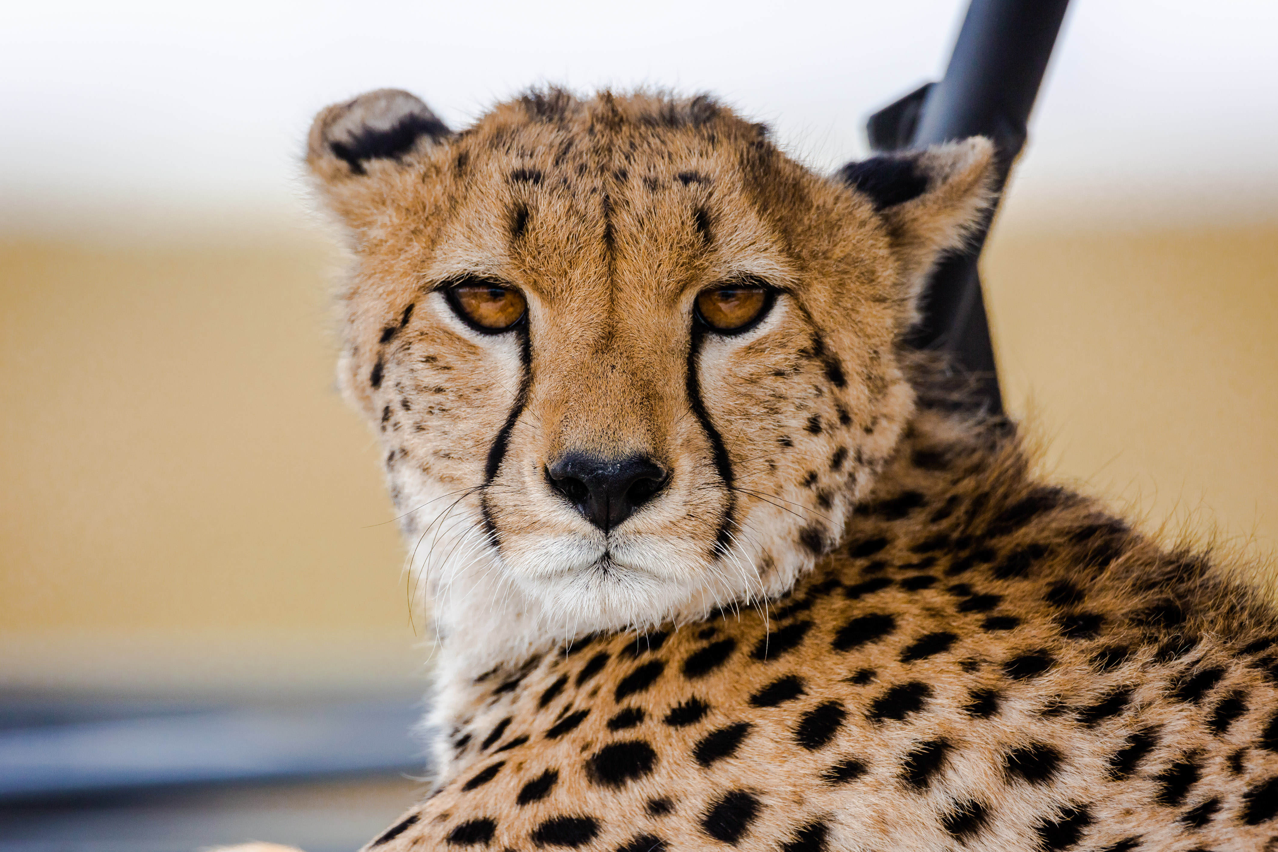 Conserving Cheetahs - Worldwide Experience
