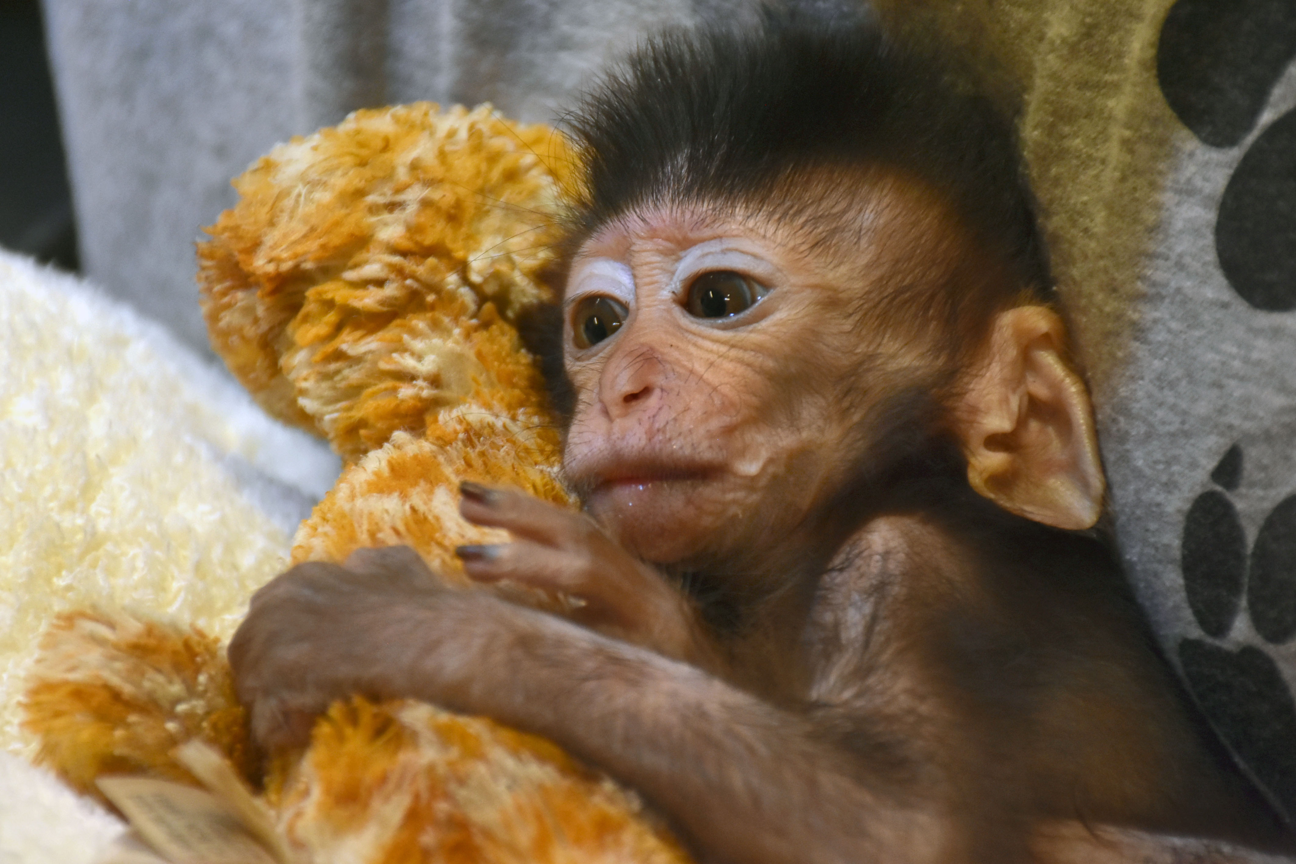 Care Bear Orphaned Baby Monkey Clings Onto Stuffed Toy