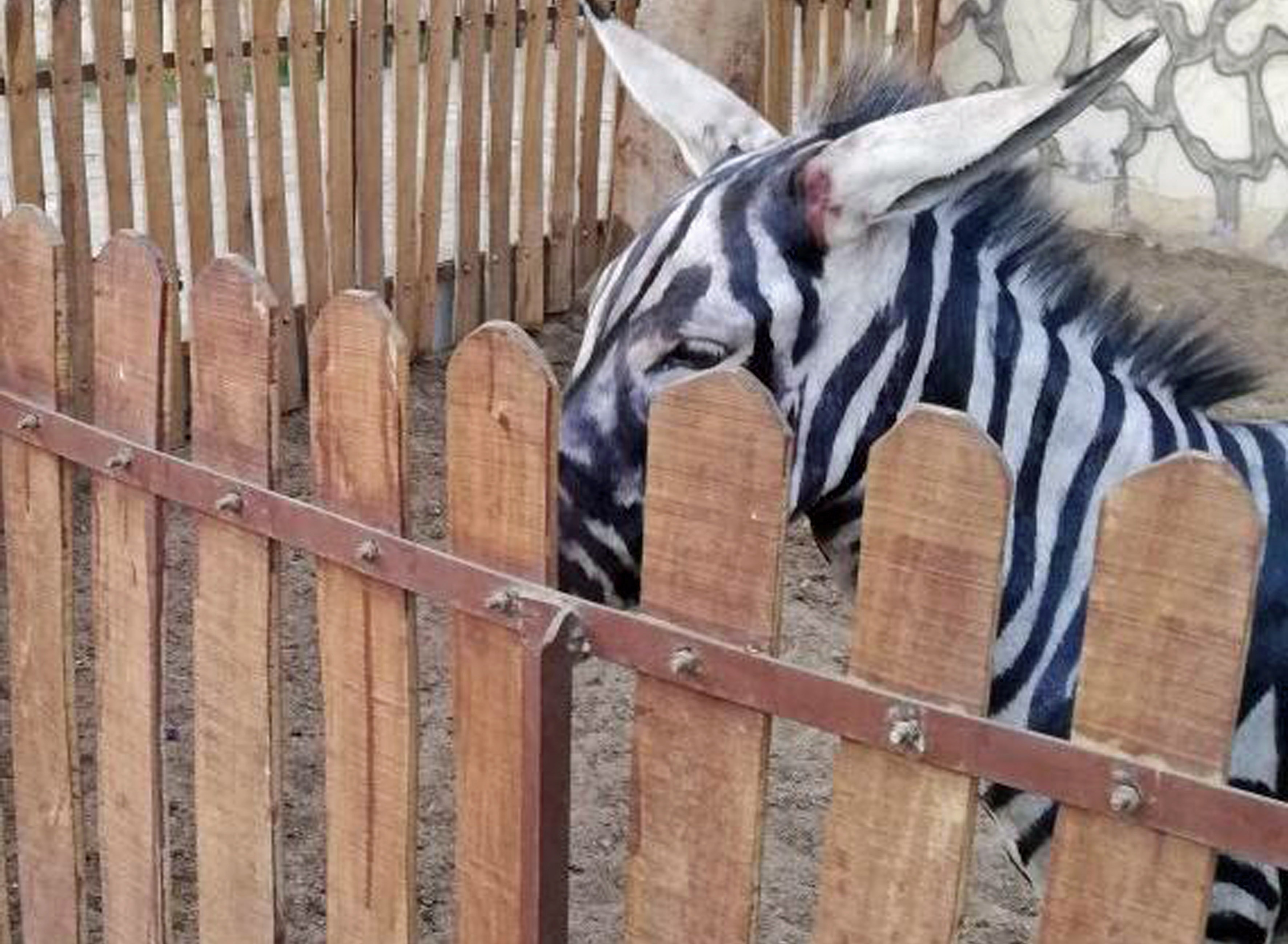 71b40114cc3bb Is this the work of pic-ass-o  - zoo accused of painting donkeys to look  like zebras after animal s stripes