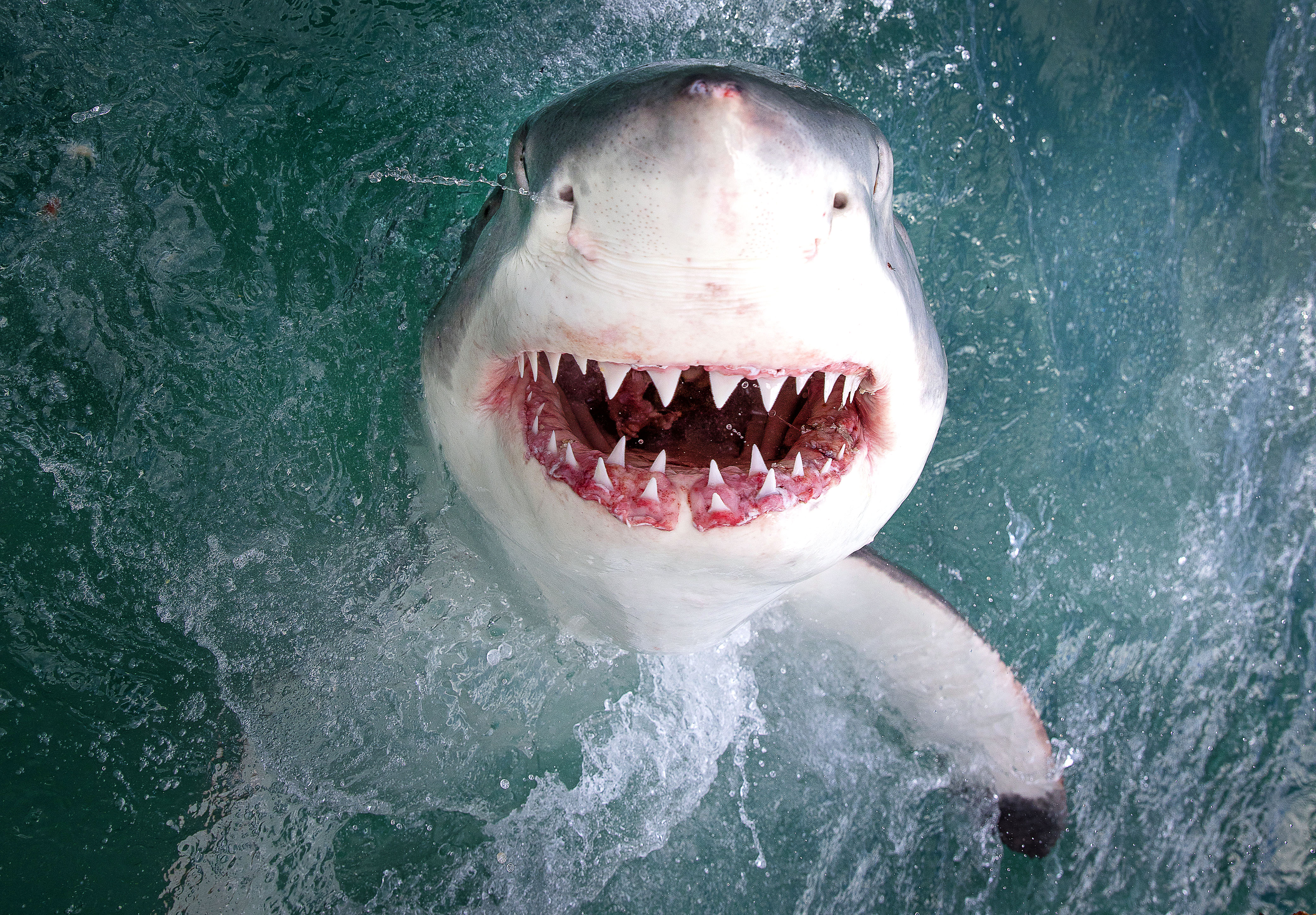 Jaw-some shark shows off its gnashers to camera - Caters